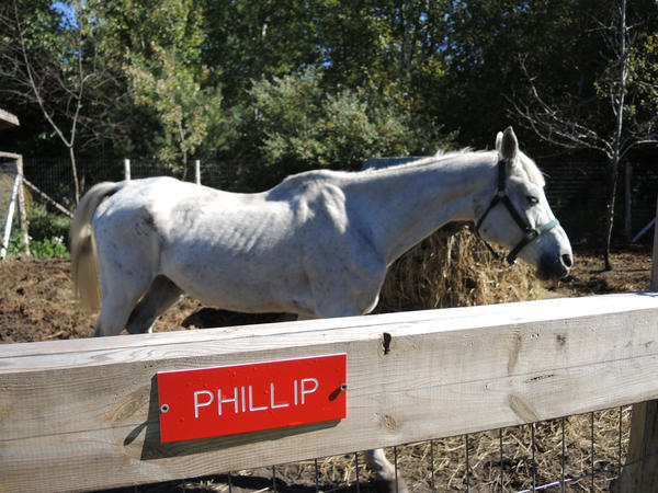 Phillip, a rescue horse, stands behind his nameplate on Julie Hall's farm near Petoskey. In the month Hall has had him, he has gained about 400 pounds.