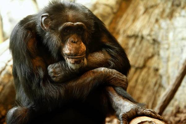 For the final years of his life, Keo lived predominantly behind the scenes at Regenstein Center for African Apes with two female chimpanzees, Vicky, and her daughter, Kibali.