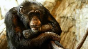 Lincoln Park Zoo's oldest — and first — chimpanzee euthanized