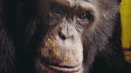 Lincoln Park chimp Keo dies