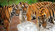 Siberian tigers making a comeback in China