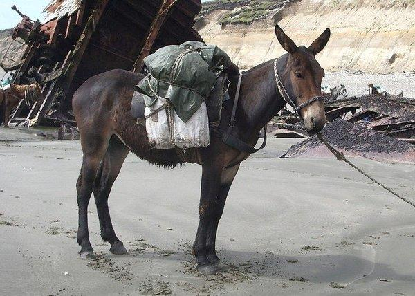 A mule stands firm at the site of a shipwreck near Tierra del Fuego, Argentina. Any resemblance to members of Congress is purely coincidental.