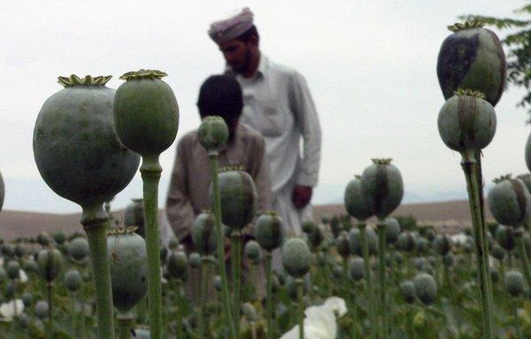 Men collect raw opium to be processed into heroin from poppy buds on the outskirts of Jalalabad, Afghanistan.