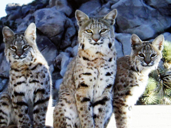 A bobcat mother and her two cubs in Joshua Tree back yard. fears trappers are responsible for their disappearance.