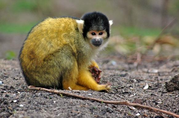 Various primates, including this squirrel monkey, are allowed to freely roam the Apenheul primate park in Apeldoorn, Netherlands.