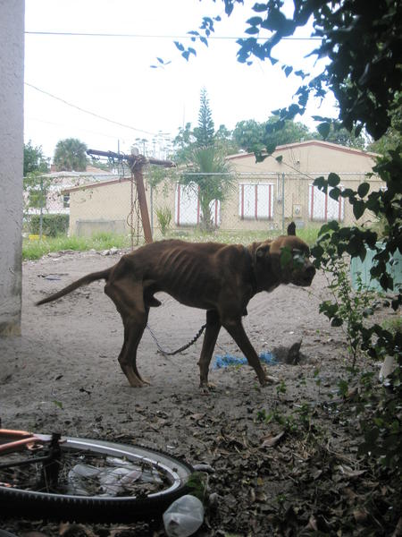 Red, a pit bull mix, was rescued from a Riviera Beach home by Palm Beach County Animal Care and Control, according to an arrest report. The dog, shown here on Jan. 15, 2013, was later humanely euthanized. His former owner, Richard Henry, 53, is charged with two counts of animal cruelty.