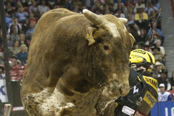 The world's best bull riders compete in Las Vegas later this month.