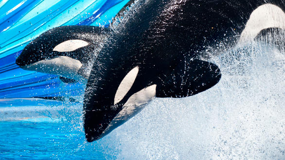 "The ""One Ocean"" killer whale show debuts on May 27 in the 5,500-seat Shamu Stadium at SeaWorld San Diego."