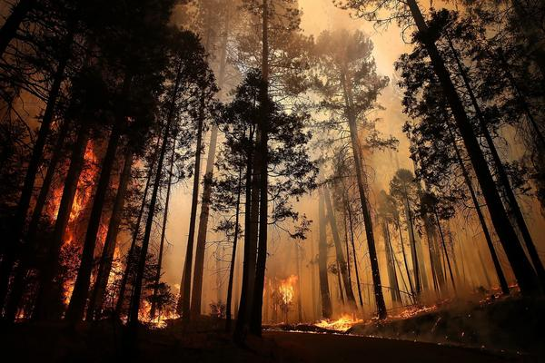 RIM FIRE: Flames from the Rim Fire consume trees near Groveland, Calif.