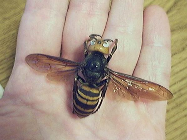 The Asian giant hornet is suspected in a rash of deadly attacks in northwestern China.