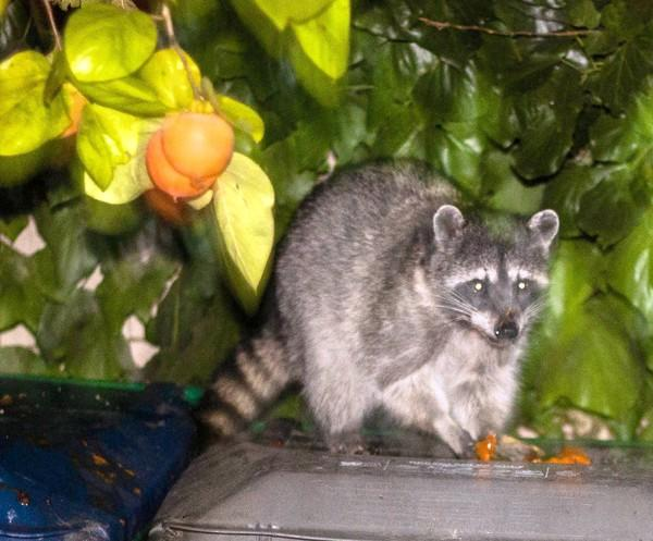 """Rocky Raccoon"" eats a persimmon on a trash can while ""talking"" to columnist David Hansen."