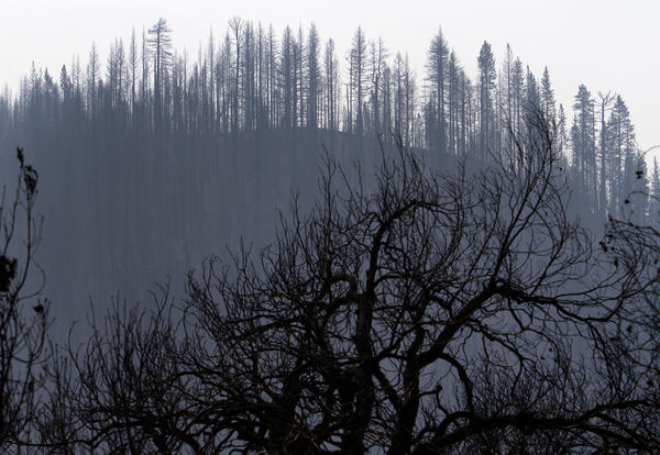 Trees burned in the Rim Fire