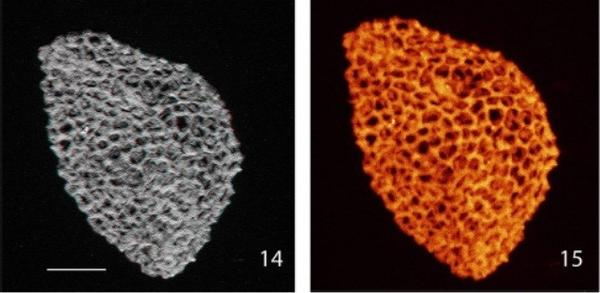 Researchers say they have discovered the fossilized pollen grains of flowering plants that date back 240 million years.