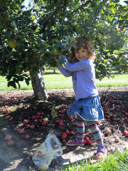 Megan Porath, 4, of Charlevoix, picks apples at Friske's Farm Market in Atwood.