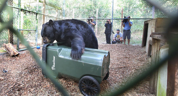 Quinn, a 450-pound black bear can't open bear proof garbage can loaded with donuts at CARE Foundation in Apopka.