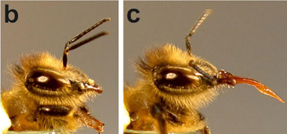 Image result for the proboscis in bees