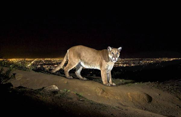 "The lights of Hollywood glow behind P-22, a 125-pound mountain lion in Griffith Park. The photo was taken by Steve Winter with a remote trail camera and will be published in December's National Geographic magazine. Winter's work will appear in ""The Power of Photography: National Geographic 125 Years"" at the Annenberg Space for Photography, opening Oct. 26."