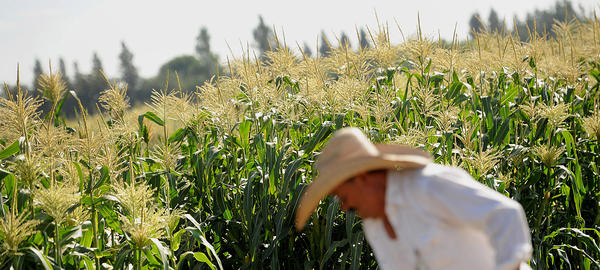 Javier Alcantar tends to corn crops Aug. 10, 2012 at the Monsanto test field in Woodland, Calif.