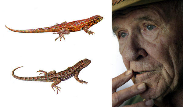 "Robert Stebbins was beloved by students, but he spent much of his time alone in his office toiling on the paintings and drawings used in his guides. At left, two of the paintings he did for his popular ""Field Guide to Western Reptiles and Amphibians."""