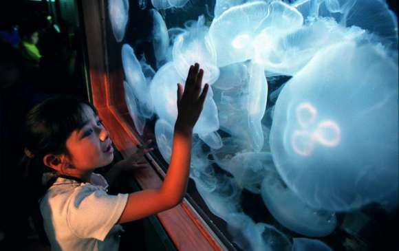 Moon jellyfish, efficient swimmers