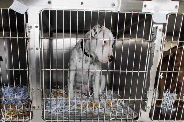 In Riverside County, animal control officials said pit bulls account for 20% of the dogs in their shelters and 30% of the dogs euthanized.
