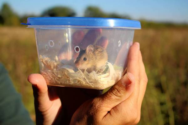 A meadow jumping mouse is released at Rollins Savanna Forest Preserve in Grayslake as part of a conservation program by the Lake County Forest Preserves District and the Lincoln Park Zoo.
