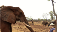 Getting the point: African elephants understand human gestures