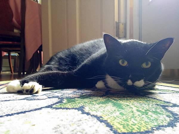 Dempsey, a 7 year old short hair tuxedo cat, owned and loved by Ellie Marhsll, 79 of Coopersburg.