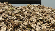 Record hatchery production aids bay's oysters