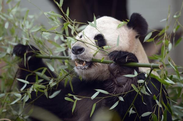 Edinburgh Zoo's giant panda Tian Tian