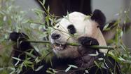 Edinburgh Zoo's female panda Tian Tian is no longer expecting