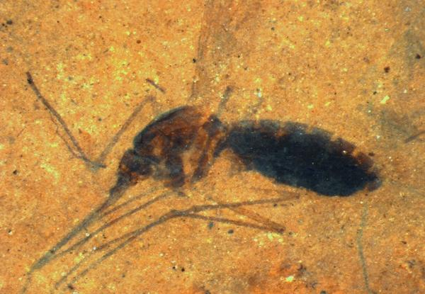 Scientists studied the last meal of a 46-million-year-old female mosquito fossilized in a paper-thin piece of shale.