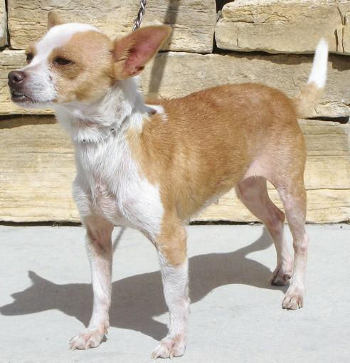 Felicia, a Chihuahua mix.