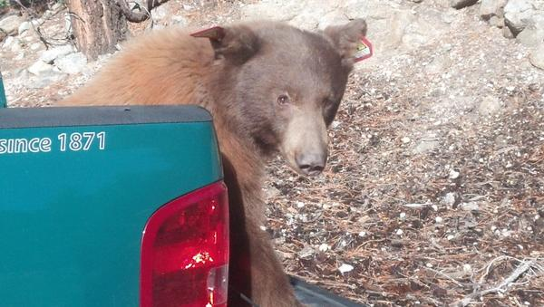 A black bear was found dead in the community of Littlerock on Tuesday. The same bear was found running loose in Baldwin Park on Friday.