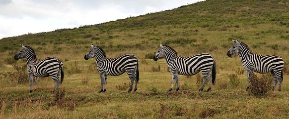 There was no trouble spotting the zebra or any other form of wildlife in the Ngorongoro Crater, which has one of the densest concentrations of animals in Africa.