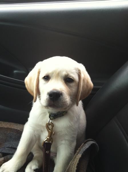Luna, a future Freedom Guide Dog, awaits his training.