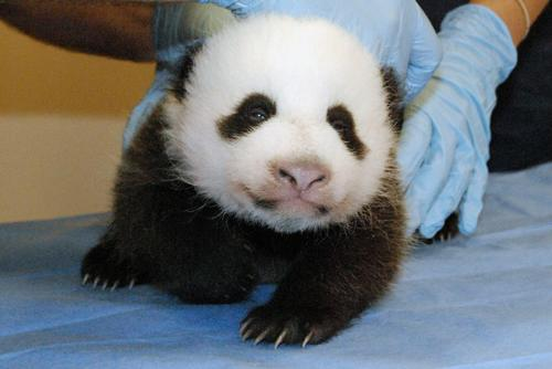 A photo provided by the Smithsonian's National Zoo shows a giant panda cub undergoing an exam. The photo was released after the beloved panda cam was turned back on after the government reopened.