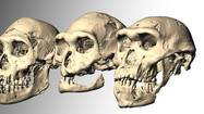 Fossil skulls lead researchers to question hominid species