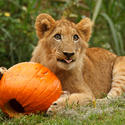 Photo: Lion cub at Busch Gardens Tampa