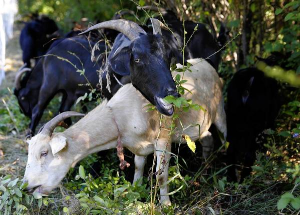 A herd of goats from Wisconsin cleared five acres of invasive plants from Naperville's Knoch Knolls Park.