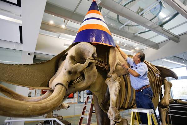 Carpenter Victor Pinedo places a giant party hat on Perry Mastodon to celebrate the 50th anniversary of the discovery of the mammal's bones. The mastodon is on permanent display at Wheaton College's Meyer Science Center.