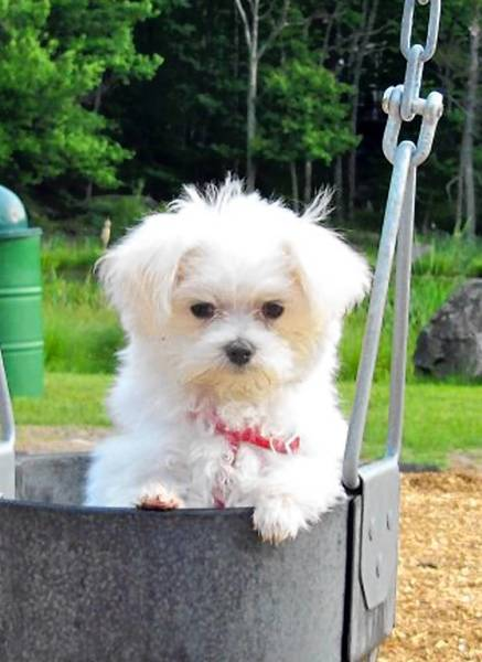 BayLee, a 1 year old maltese, is owned and loved by Carlos Martinez, 45, of Bethlehem.