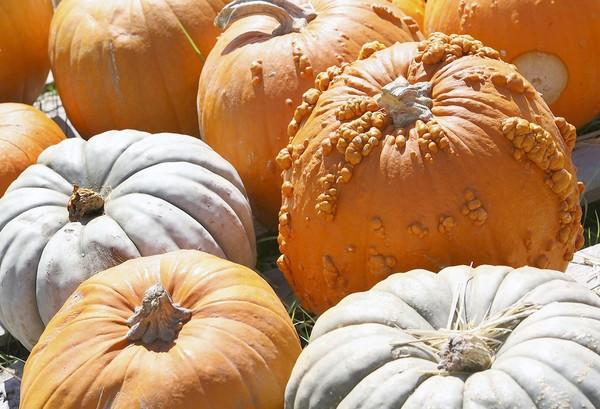 Pumpkins are plentiful this season at Trinity Evangelical Free Church in Eustis and there are many varieties and sizes to chose from.