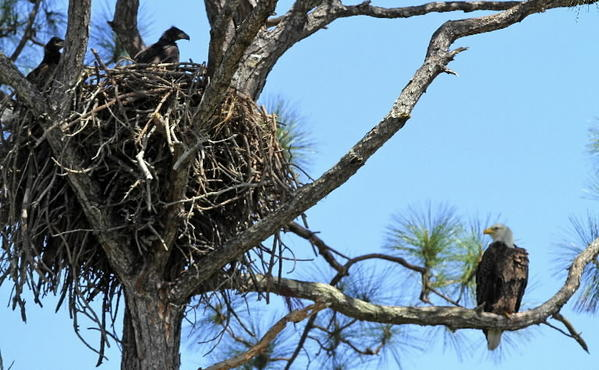An adult bald eagle perches on a limb and watches two eaglets sit in their nest located at the Kennedy Space Center on the Merritt Island National Wildlife Refuge in March 2011.