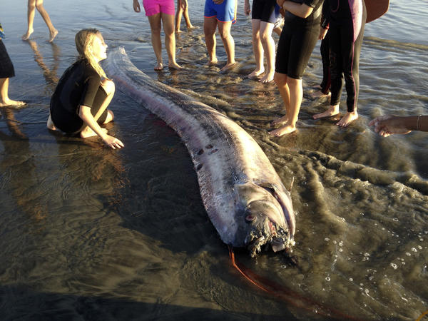 A rare 14-foot oarfish washed up on the beach at Oceanside. According to the Catalina Island Marine Institute, oarfish can grow to more than 50 feet, making them the longest bony fish in the world.