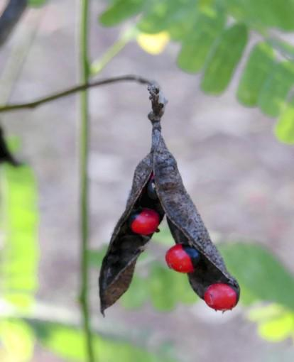 The roasary pea is a good meal for a bird, but it's poisonous to people.