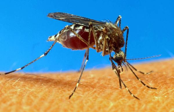 The yellow fever mosquito has been found in California, prompting intense eradication efforts and warnings from officials about how to keep the pest from spreading.