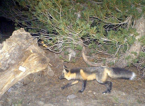 A red fox, once thought to be extinct, was photographed with a remote camera north of Yosemite National Park.