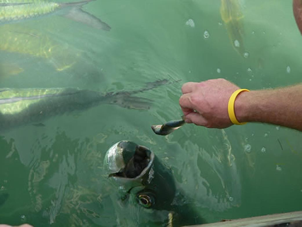 Things every South Floridian should do once - Feed the tarpon at Robbie