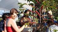 Hawaii: Kailua-Kona festival in early November celebrates coffee